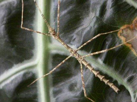 PSG 2 - Pseudodiacantha macklottii - Mannelijke nimf