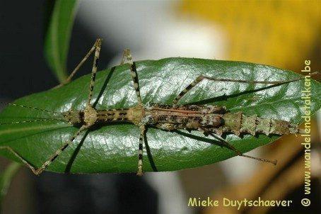 PSG 2 - Pseudodiacantha macklottii - Volwassen vrouwtje