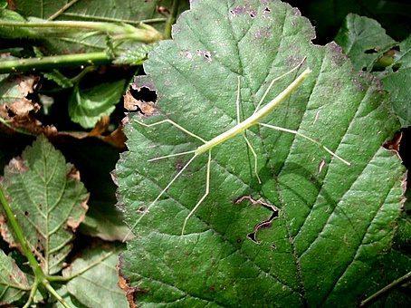 PSG 4 - Sipyloidea sipylus - Nimf