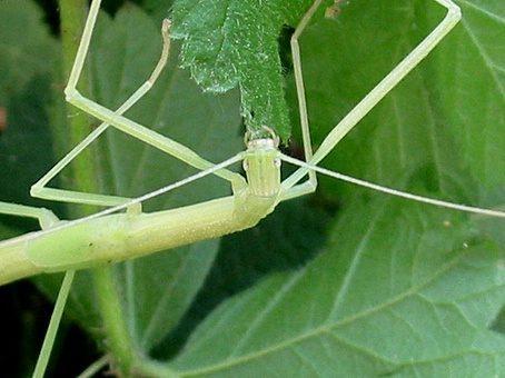 PSG 4 - Sipyloidea sipylus - Nimf met beginnende vleugeltjes