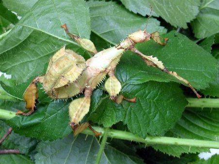 PSG 9 - Extatosoma tiaratum tiaratum - Subadulte vrouw, met groene tint