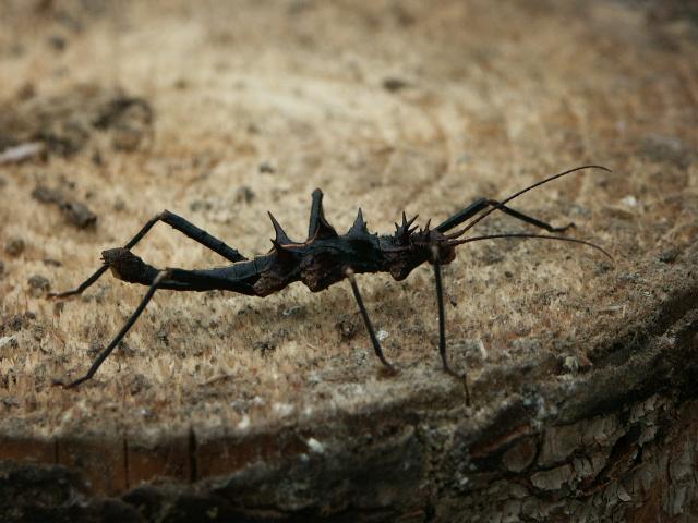 PSG 110 - Hoploclonia gecko - Subvolwassen man