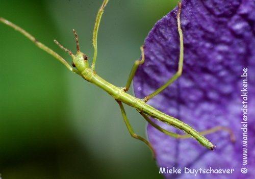 PSG 13 - Acrophylla wuelfingi - Nimf