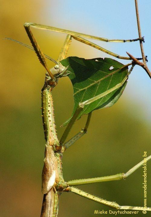 PSG 13 - Acrophylla wuelfingi - Volwassen vrouw