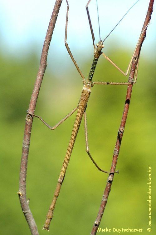 PSG 13 - Acrophylla wuelfingi - Volwassen man