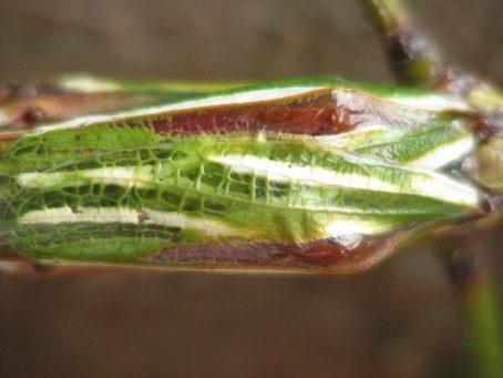 PSG 14 - Eurycnema goliath - Volwassen man