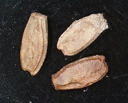 PSG 144 - Ramulus artemis - Eitjes