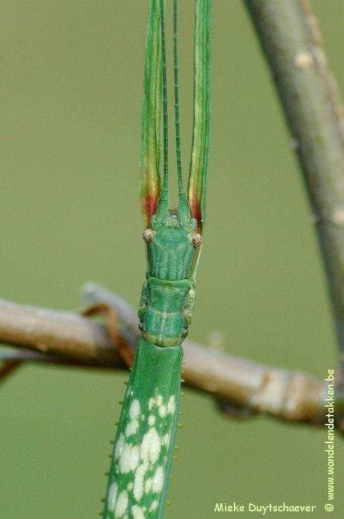 PSG 152 - Phanocloidea nodulosa - Volwassen vrouw
