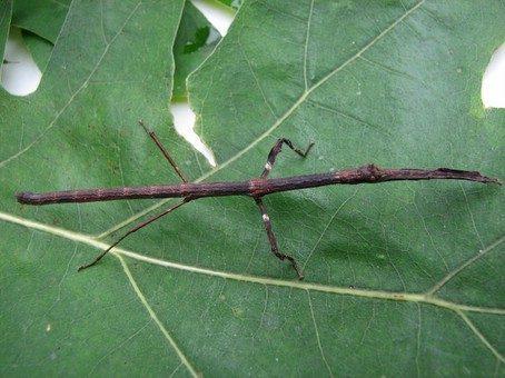 PSG 169 - Mnesilochus capreolus - Vrouwelijke nimf