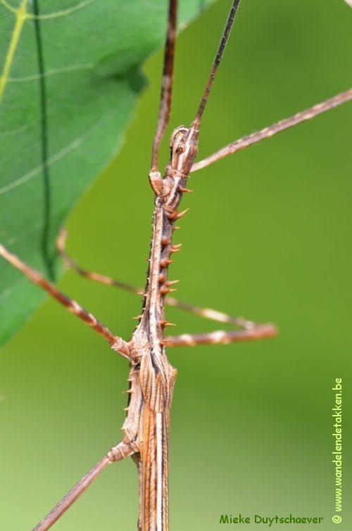 PSG 175 - Diesbachia tamyris - Volwassen man