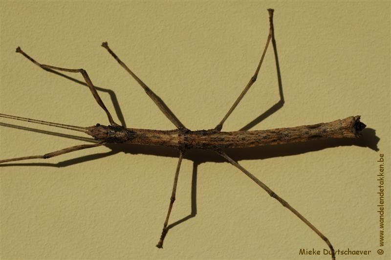 PSG 182 - Oxyartes lamellatus - Mannelijke nimf