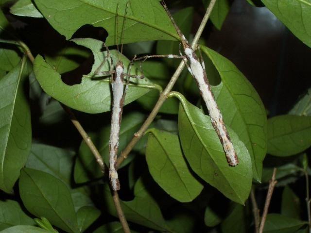PSG 182 - Oxyartes lamellatus - Wit gekleurde nimf