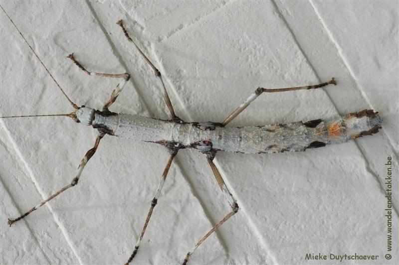 PSG 182 - Oxyartes lamellatus - Wit gekleurd volwassen vrouwtje