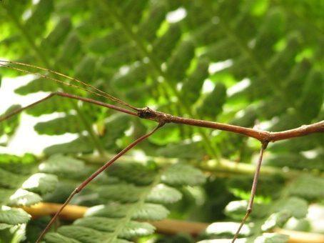 PSG 186 - Chondrostethus woodfordi - Volwassen man