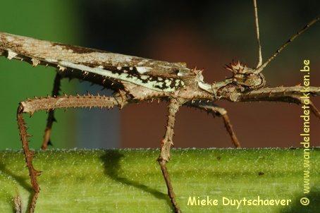PSG 18 - Heteropteryx dilatata - Volwassen man