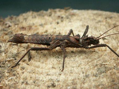 PSG 199 - Hoploclonia cuspidata - Volwassen vrouw
