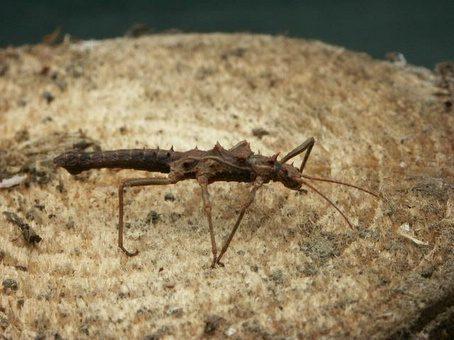 PSG 199 - Hoploclonia cuspidata - Subvolwassen man