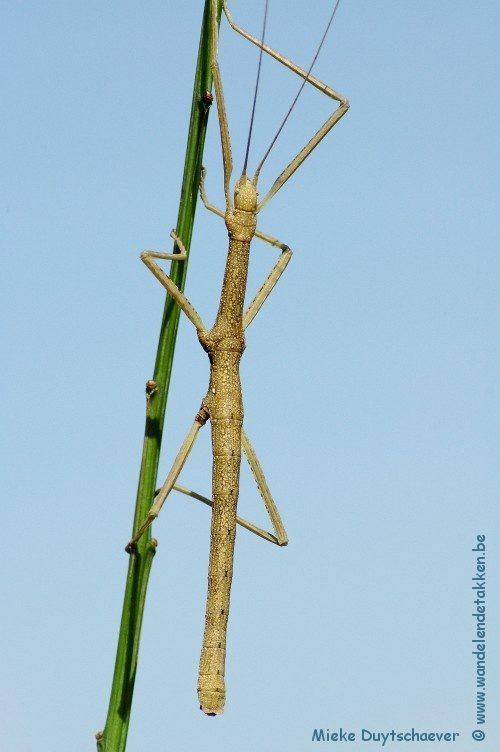 PSG 210 - Lopaphus magnificus - Subvolwassen vrouw