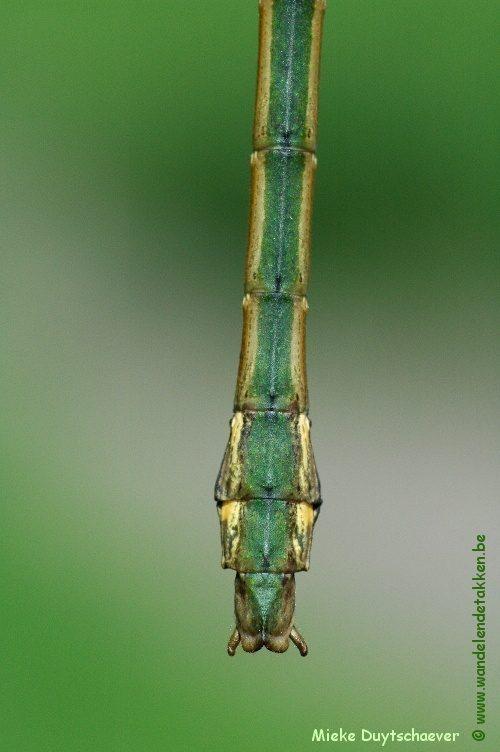 PSG 210 - Lopaphus magnificus - Volwassen man