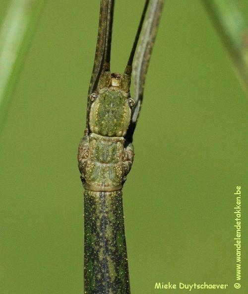 PSG 210 - Lopaphus magnificus - Volwassen vrouw