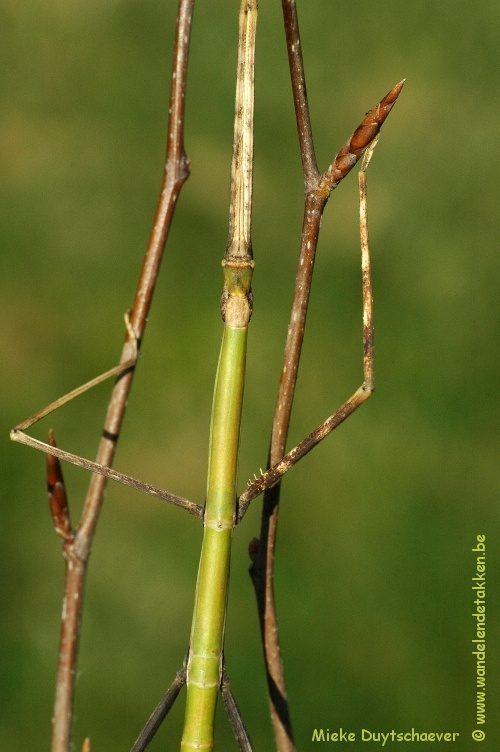 "PSG 211 - Cuniculina sp. ""BANGLADESH 12"" - Volwassen vrouw"