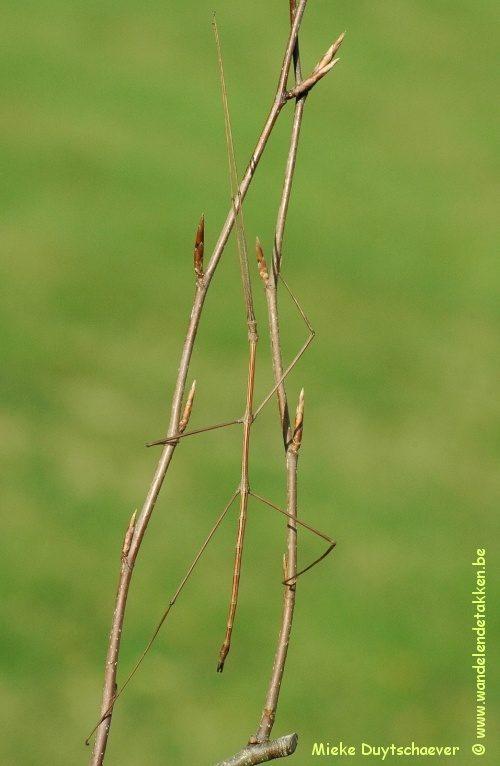 "PSG 211 - Cuniculina sp. ""BANGLADESH 12"" - Volwassen man"