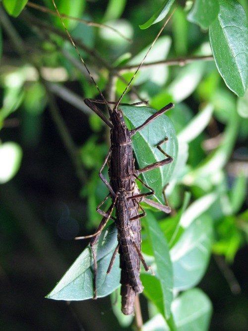 PSG 213 - Malacomorpha jamaicana - Volwassen koppel