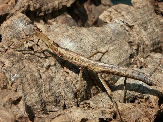 PSG 236 - Dimorphodes catenulatus - Volwassen vrouwtje