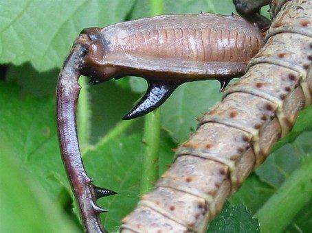PSG 23 - Eurycantha calcarata var. - Stekel op achterpoot mannetje