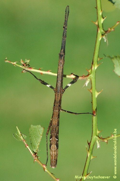 PSG 246 - Mnesilochus rusticus - Nimfje - Volwassen vrouw