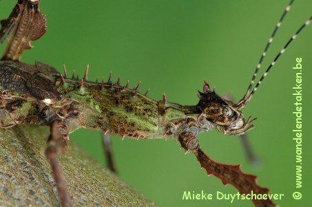 PSG 258 - Parectatosoma mocquerysi - Volwassen vrouw