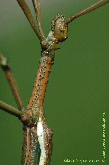 PSG 260 - Diapherodes gigantea - Volwassen man