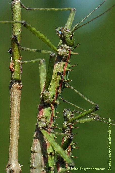 PSG 272 - Spinohirasea bengalensis - Volwassen koppel