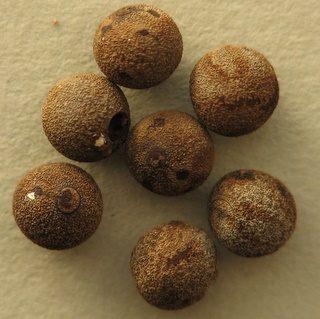 PSG 272 - Spinohirasea bengalensis - Eitjes
