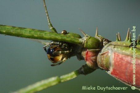 PSG 272 - Spinohirasea bengalensis - Volwassen vrouw