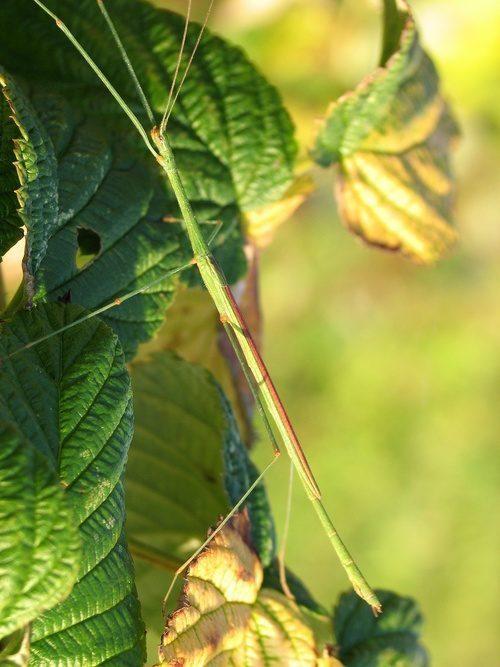 PSG 276 - Sipyloidea menptolemus - Volwassen man