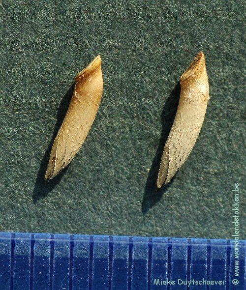 PSG 290 - Necroscia annulipes - Eitjes