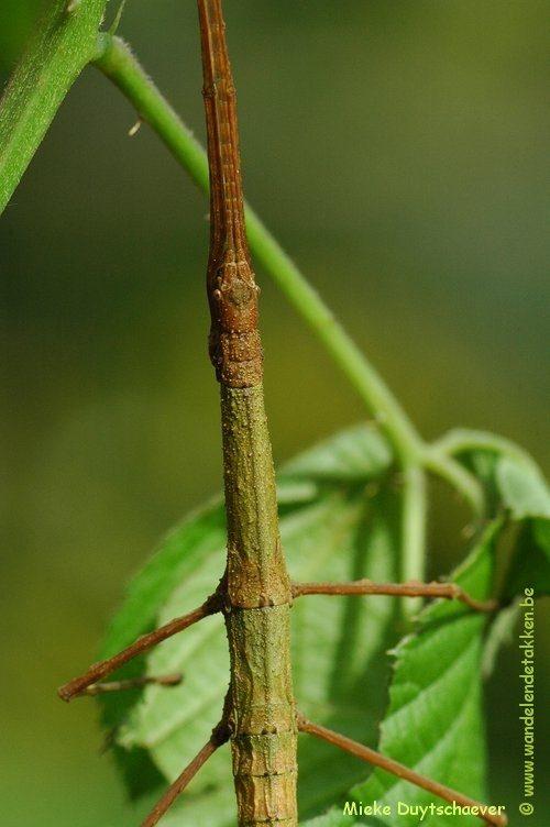 PSG 291 - Lobolibethra sp. - Volwassen vrouw