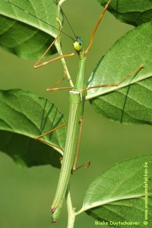 PSG 46 - Marmessoidea rosea - Volwassen vrouw