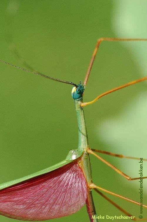 PSG 46 - Marmessoidea rosea - Volwassen man