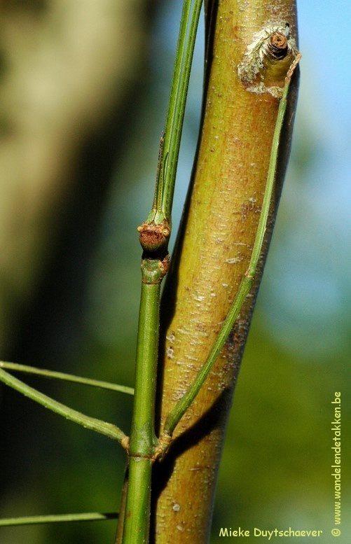 PSG 55 Ramulus nematodes - Volwassen vrouw