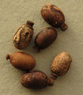 PSG 61 - Haplopus micropterus - Eitjes