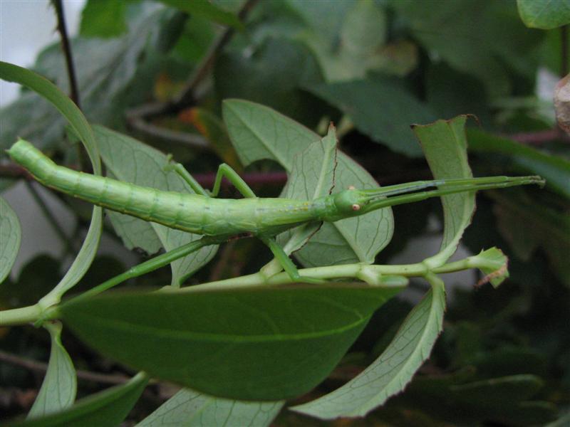 PSG 82 - Rhapiderus spinigerus - Vrouwelijk nimfje