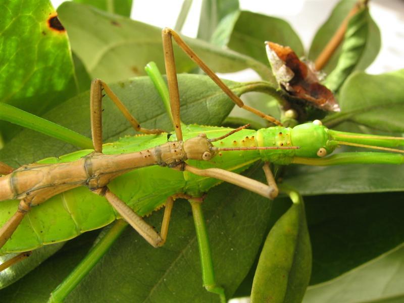 PSG 82 - Rhapiderus spinigerus - Volwassen koppeltje, mannetje bovenop