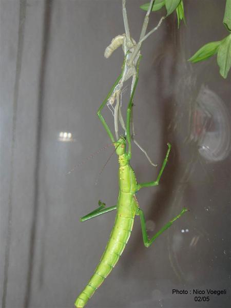 PSG 83 - Rhapiderus scabrosus - Laatste vervelling vrouwtje naar volwassenheid