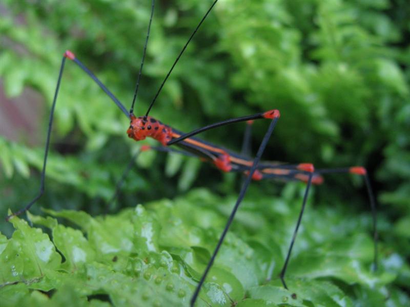 PSG 84 - Oreophoetes peruana - Volwassen vrouw - Rode kleur variant