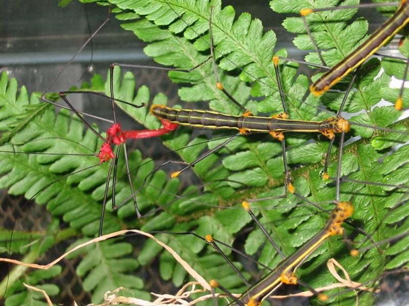 PSG 84 - Oreophoetes peruana - Paring
