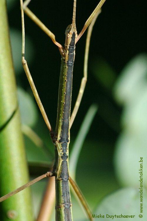 PSG 90 - Rhamphosipyloidea gorkomi - Volwassen vrouw