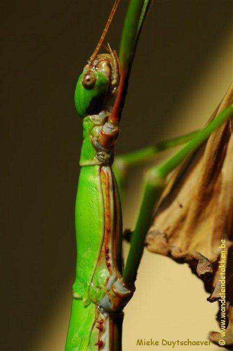 PSG 286 - Monandroptera acanthomera - Volwassen vrouwtje