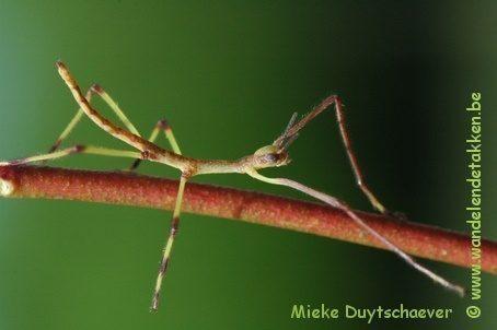 PSG 286 - Monandroptera acanthomera - Nimf